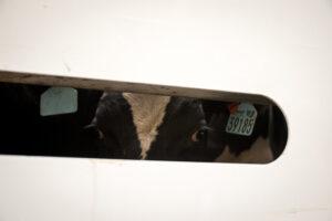 live animal export